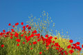 Red Poppies And Yellow Flowers Stock Images - 1991284
