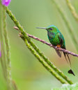 The Booted Racket-Tail Hummingbird Stock Images - 19903924