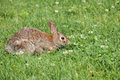Cottontail Rabbit Royalty Free Stock Image - 19905176