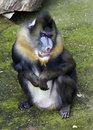 Mandrill Royalty Free Stock Photography - 19917387