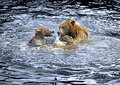 Brown Bear Royalty Free Stock Images - 19930899