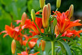 Lilies Flowers On Garden Royalty Free Stock Photos - 19934958