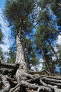 Tall Pine With Overgrown Tree Roots Royalty Free Stock Images - 19940699