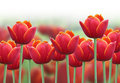 Spring Tulip Flower Background Royalty Free Stock Photo - 19950485
