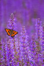 Salvia With Butterfly Royalty Free Stock Photography - 19951877