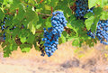 Ripe Clusters Of Grapes Stock Image - 19958261