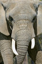 Elephant Close Up Royalty Free Stock Images - 19962399