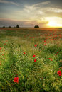 Poppies Field At Sunset Stock Images - 19991714
