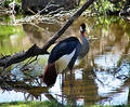 East African Crowned Crane Royalty Free Stock Images - 20959