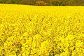 Picture Of Oilseed Rapes Royalty Free Stock Photography - 20003417