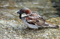 Sparrow Royalty Free Stock Images - 20009009