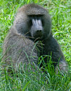 Baboon Royalty Free Stock Image - 20020846
