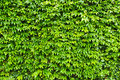 Ivy Wall Stock Images - 20032724