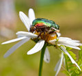 Green Rose Chafer Stock Image - 20040221