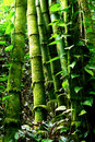 Green Bamboo Forest Stock Image - 20042131