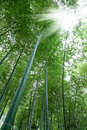 Bamboo Forest Royalty Free Stock Images - 20081499