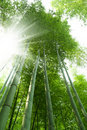 Green Bamboo Forest Stock Image - 20081531