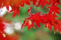 Japanese Maple Royalty Free Stock Photo - 20091275