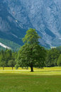 Old Tree In Alpine Valley Royalty Free Stock Photo - 2011135