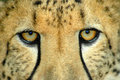 Cheetah Eyes Royalty Free Stock Photo - 2016005