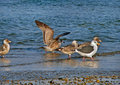 Slaty-backed Gulls (Larus Schistisagus) Royalty Free Stock Images - 2019549