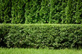 Green Hedge Background Stock Images - 20109284
