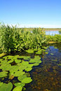 Water Lily Stock Image - 20114611