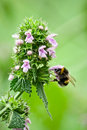 Bumble Bee Is On The Flower. Royalty Free Stock Image - 20121256