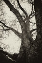 Haunted Old Tree Royalty Free Stock Photos - 20138138