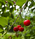 A Cherry Growing On A Tree Royalty Free Stock Photography - 20142967