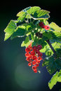 Redcurrant Stock Photo - 20148210