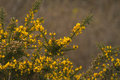 Gorse In Full Bloom Royalty Free Stock Photos - 20170768