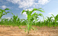 Corn Field Stock Images - 20199634