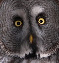 Great Grey Owl Royalty Free Stock Image - 2020996