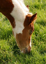 Young Foal Eating Grass Stock Image - 2021501