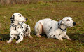 Two Dalmatians Royalty Free Stock Image - 2029626