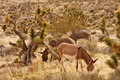Three Burros Grazing In Desert Royalty Free Stock Image - 20207196