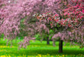 Blooming Apple Trees In The Park Stock Image - 20207221