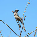 Florida Scrub Jay (Aphelocoma Coerulescens) Royalty Free Stock Photography - 20226607