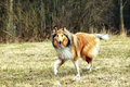 Rough Collie Royalty Free Stock Images - 20236789