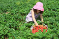 Child Picking Strawberries Royalty Free Stock Photo - 20239655