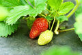 Strawberry Plant Royalty Free Stock Photography - 20255077