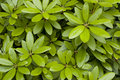 Green Leaves As Texture Royalty Free Stock Photography - 20261917