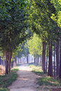 Tree Lined Path Stock Image - 20263921