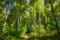 Beech Forest Royalty Free Stock Photography - 20280377