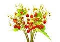 Ripe And Juicy Wild Strawberry Stock Images - 20288414