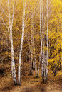 Silver Birch Stock Images - 20348594