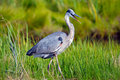 Great Blue Heron Royalty Free Stock Photography - 20381527