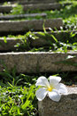 White Plumeria Flower On The Rock And Green Grass Stock Images - 20389284