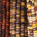 Multicolored Indian Corn. Stock Photography - 2042642